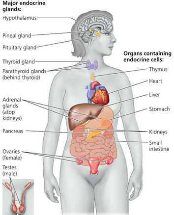 endocrine glands - the endocrine system, Cephalic Vein